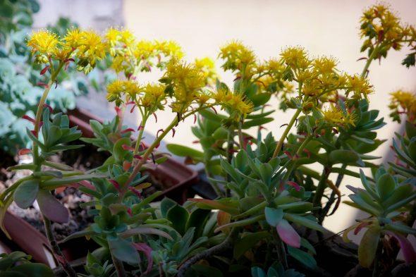 Korona virág